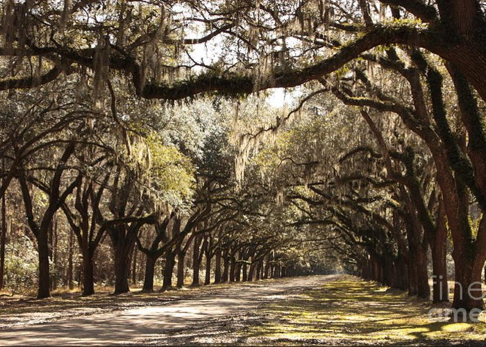 Live Oaks Greeting Card featuring the photograph Warm Southern Hospitality by Carol Groenen
