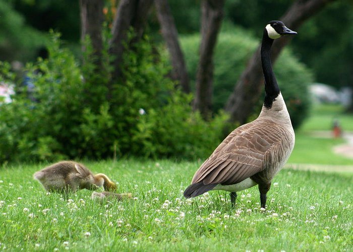 Goose Greeting Card featuring the photograph Watchful Eye by David Dunham