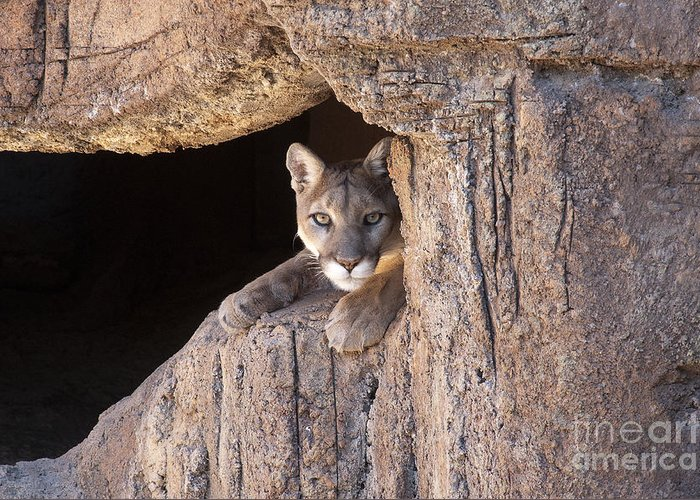 Cougar Greeting Card featuring the photograph Watchful Eyes by Sandra Bronstein