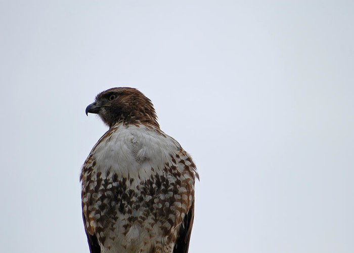 Hawk Greeting Card featuring the photograph Watching From Above by Jean Booth
