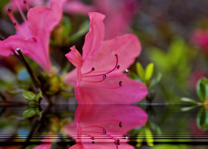 Water Greeting Card featuring the digital art Water Azalea by Ches Black