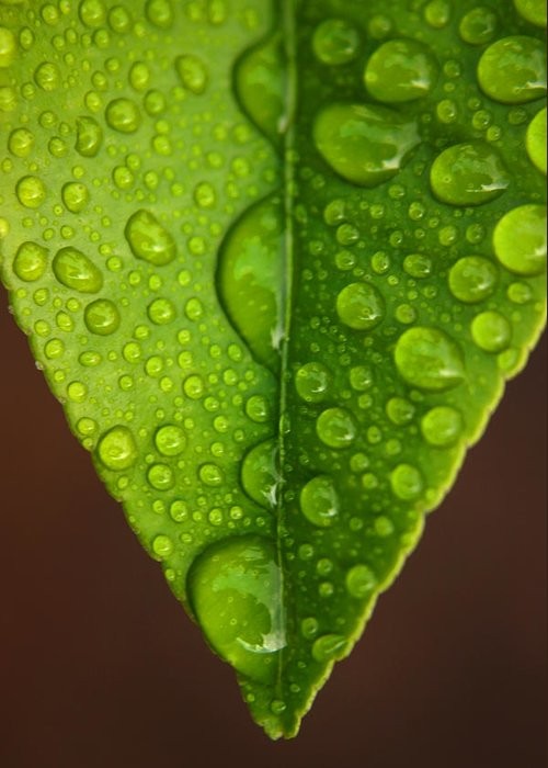 Leaf Greeting Card featuring the photograph Water Droplets On Lemon Leaf by Ralph A Ledergerber-Photography