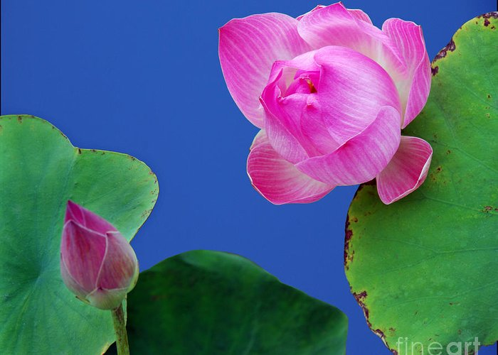 Water Lili Green Pink Flower Blue Color Nature Greeting Card featuring the photograph Water Lili by Ty Lee