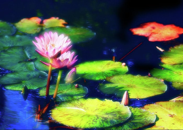 Water Lily Greeting Card featuring the photograph Water Lilies by Harry Spitz