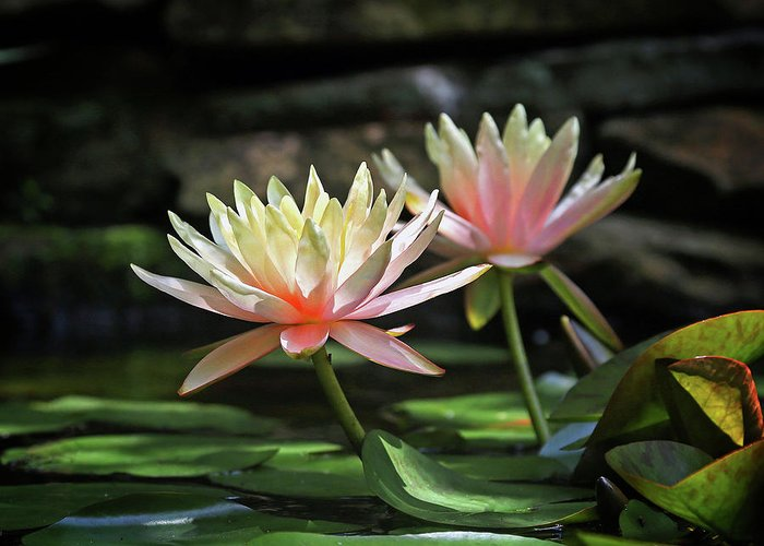 Water Lilly Greeting Card featuring the photograph Water Lilly by Bob Hancock