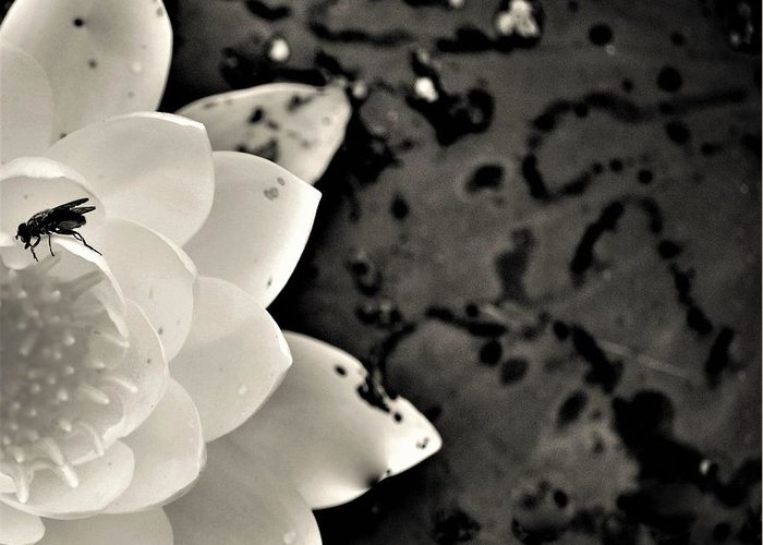 Water Lily Greeting Card featuring the photograph Water Lily And Fly by Poornima Ravishankar