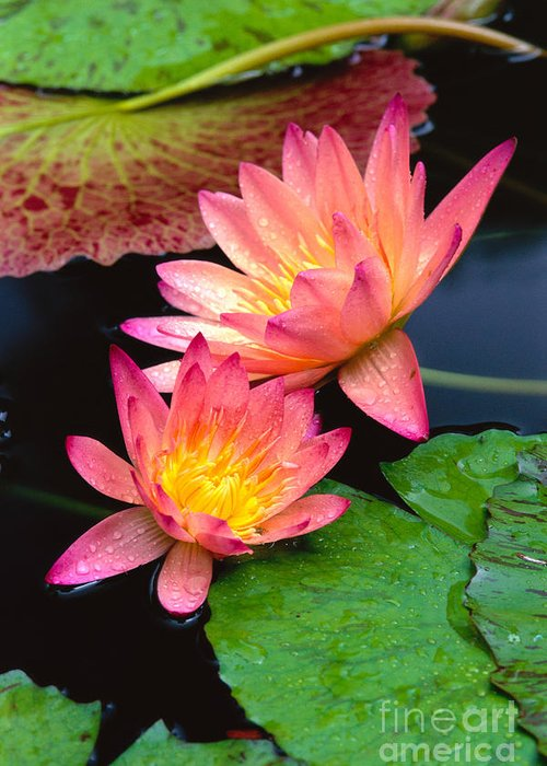 Bill Brennan Greeting Card featuring the photograph Water Lily by Bill Brennan - Printscapes