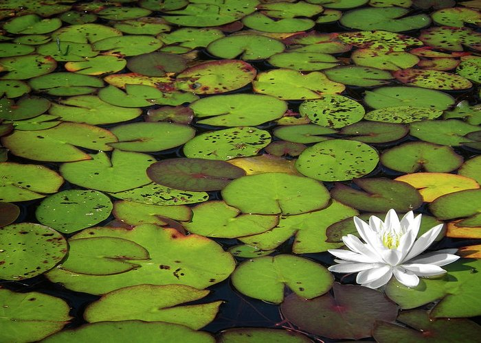 Green Greeting Card featuring the photograph Water Lily by Elisabeth Van Eyken