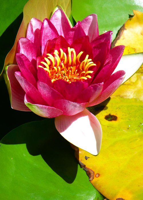 Water Lily Greeting Card featuring the photograph Water Lily Fc 2 by Diana Douglass