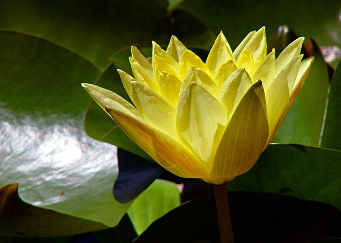 Water Lily Greeting Card featuring the photograph Water Lily Fc by Diana Douglass