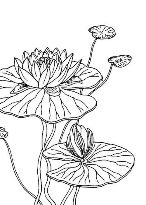 Water Lily Flower Botanical Drawing Greeting Card For Sale By Irina Sztukowski