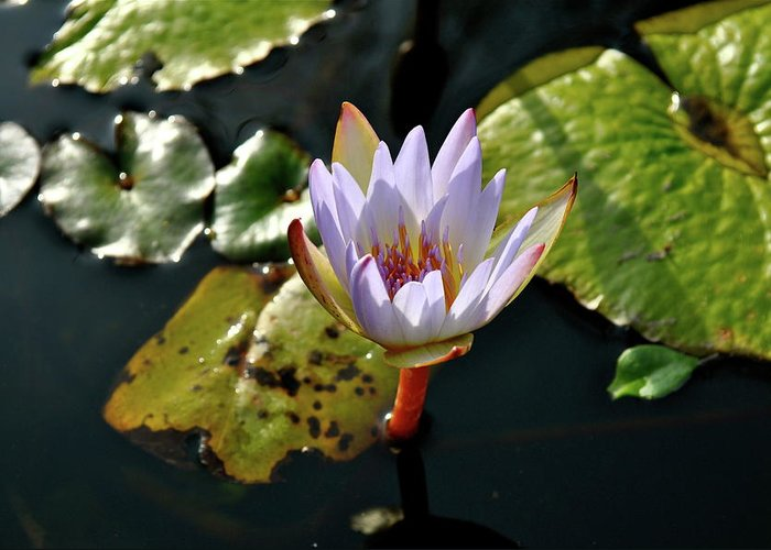 Water Lily Greeting Card featuring the photograph Water Lily For You by Laura Ogrodnik