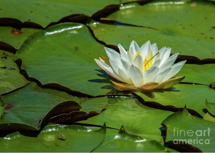 Lily Greeting Card featuring the photograph Water Lily With Friend by Paul Mashburn