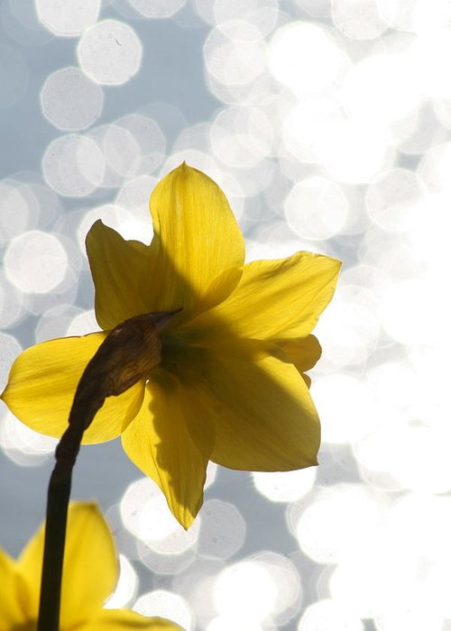 Skagit Valley Greeting Card featuring the photograph Water Reflected Daffodil by Karla DeCamp