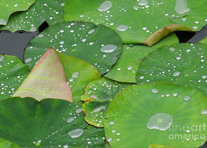 Water Lilies Greeting Card featuring the photograph Waterdrops On Lotus Leaves by Silke Magino