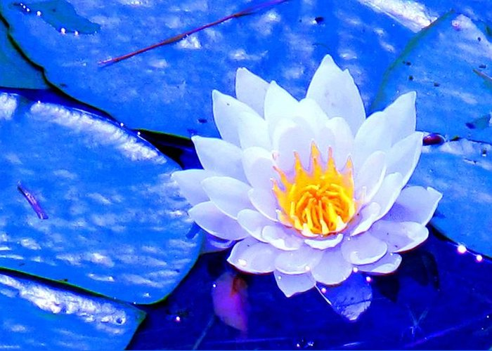 Waterlilly Greeting Card featuring the photograph Blue Water Lily by Ian MacDonald