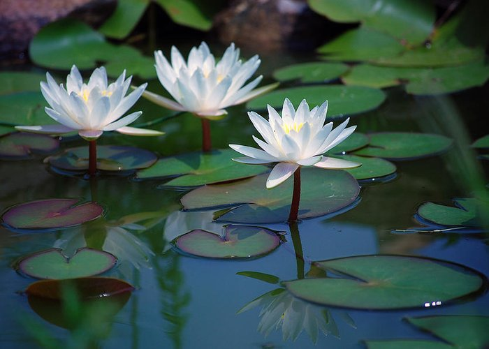 Waterlily Greeting Card featuring the photograph Waterlilys by Robert Meanor