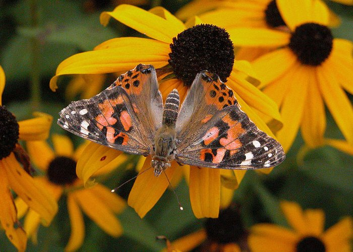 Butterflies Greeting Card featuring the photograph Watershed Butterfly by Nancy Barch