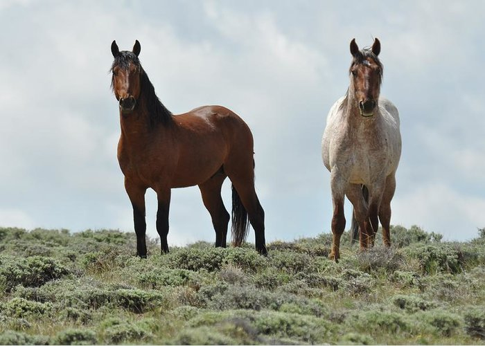 Wild Horses Greeting Card featuring the photograph We See You by Frank Madia
