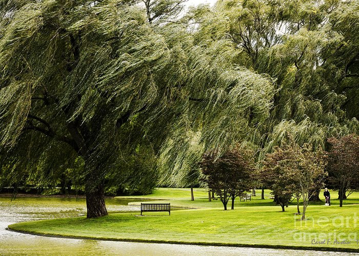 Weeping willow trees on windy day greeting card for sale by carol f tree greeting card featuring the photograph weeping willow trees on windy day by carol f austin m4hsunfo