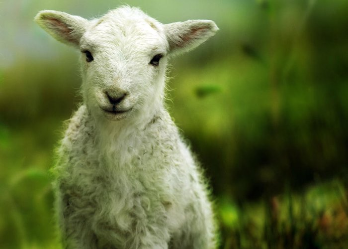 Wales Greeting Card featuring the photograph Welsh Lamb by Angel Ciesniarska