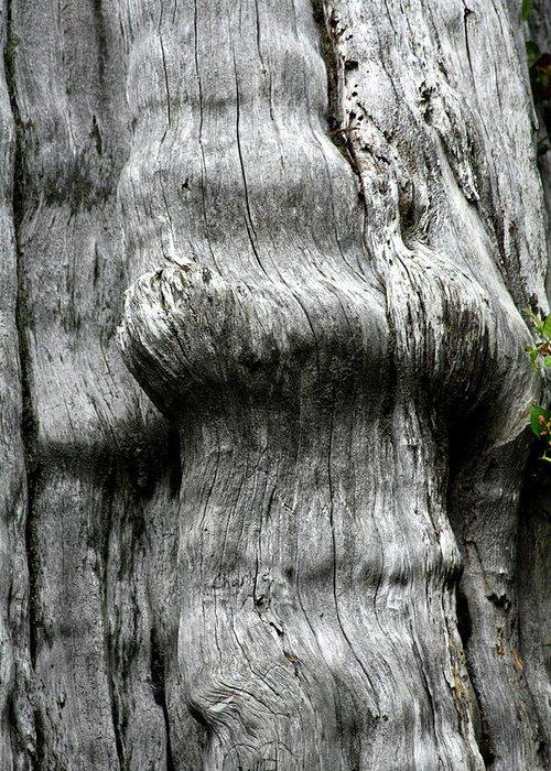 Thuja Plicata Greeting Card featuring the photograph Western Red Cedar - Thuja Plicata - Olympic National Park Wa by Christine Till