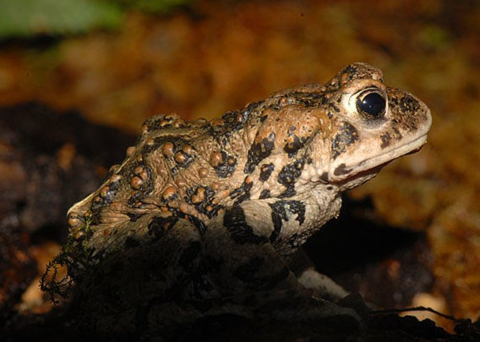 Frog Greeting Card featuring the photograph Western Toad by Dennis Hammer