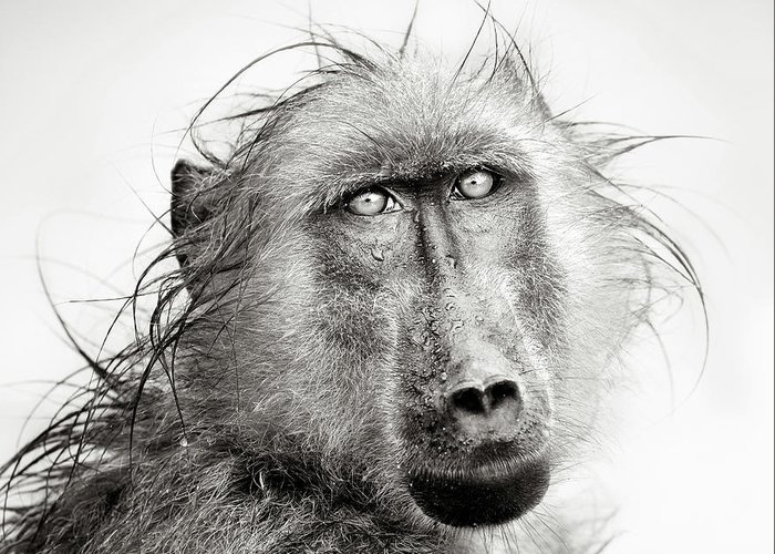 Baboon Greeting Cards