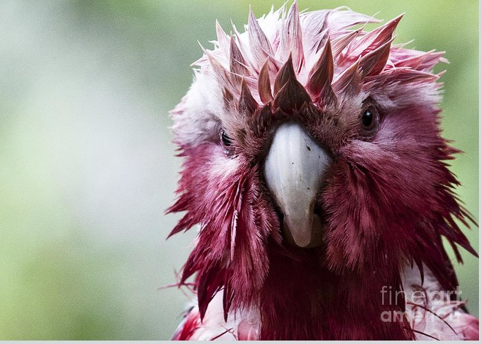 Galah Greeting Card featuring the photograph Wet galah by Sheila Smart Fine Art Photography
