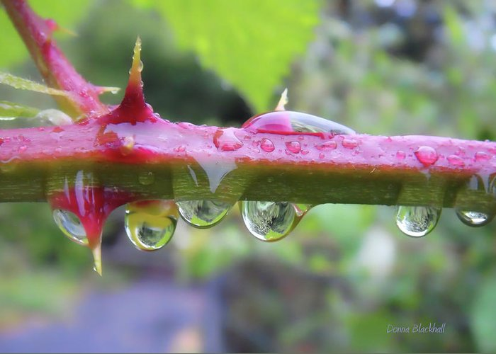 Blackberry Vine Greeting Card featuring the photograph Wet Prick by Donna Blackhall