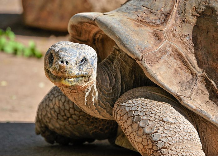Turtle Greeting Card featuring the photograph Whatcha Looking At by Tom Dowd