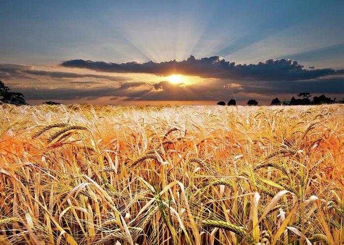 Wheat Greeting Card featuring the photograph Wheat At Sunset by Meirion Matthias