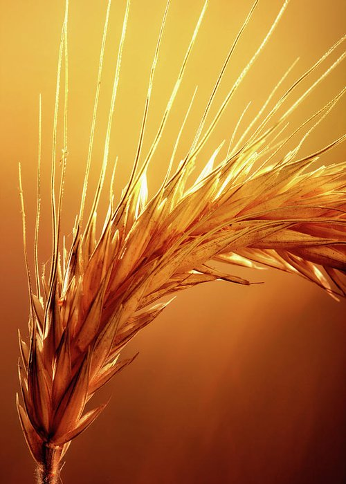 Wheat Greeting Card featuring the photograph Wheat Close-up by Johan Swanepoel