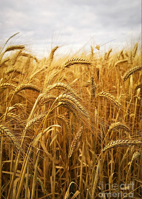 Wheat Greeting Card featuring the photograph Wheat by Elena Elisseeva