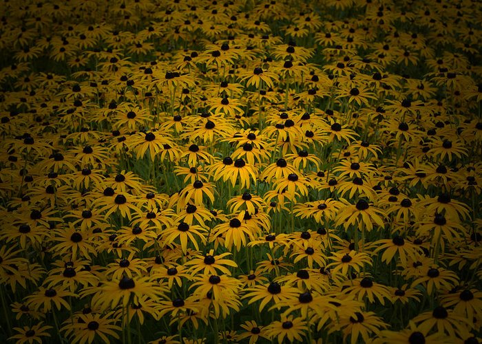 Black Eyed Susan Greeting Card featuring the photograph Where's Waldo by Richard Andrews