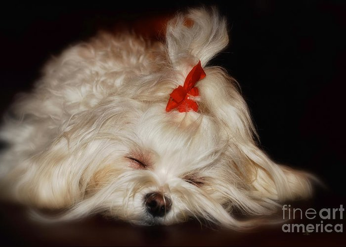 Toy Maltese Greeting Cards