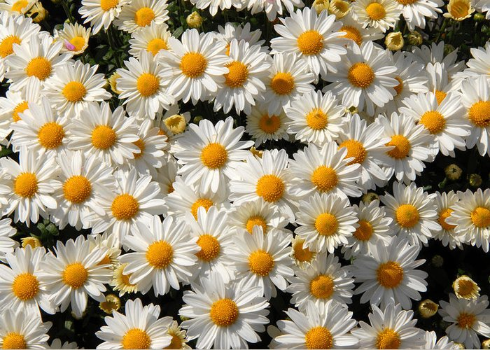 Flowers Greeting Card featuring the photograph White An Yellow by Oudi Arroni