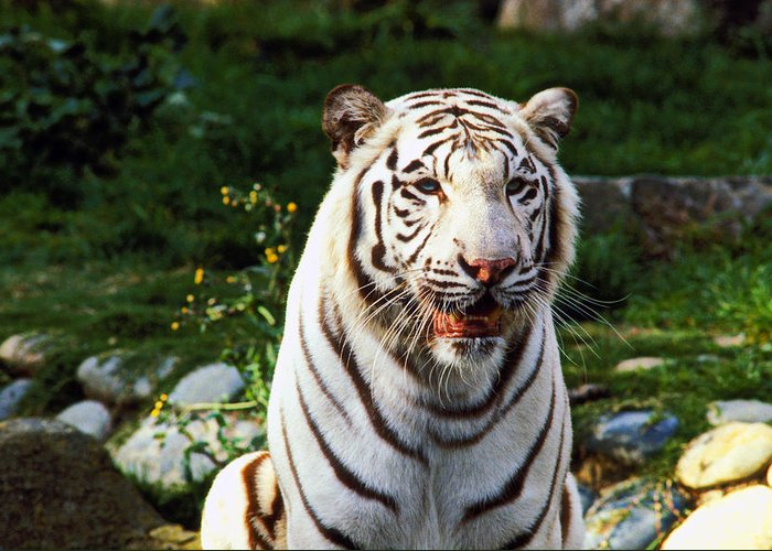 White Greeting Card featuring the photograph White Bengal Tiger by Garry Gay