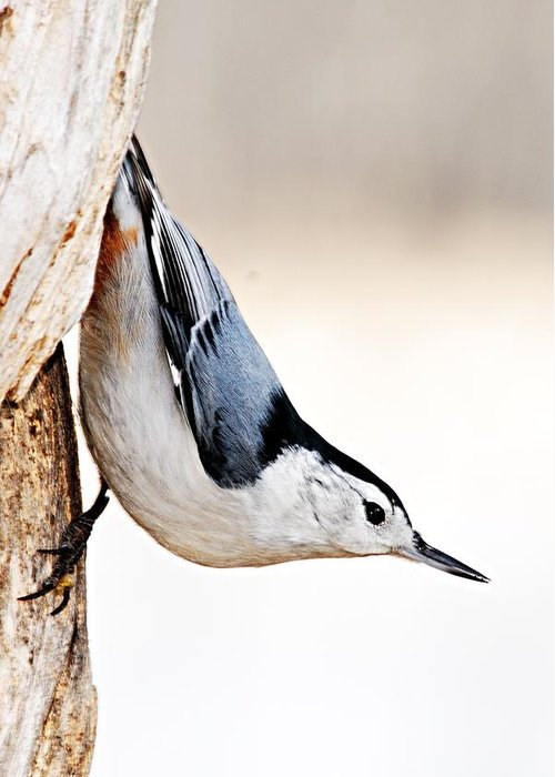 Photography Greeting Card featuring the photograph White-breasted Nuthatch by Larry Ricker