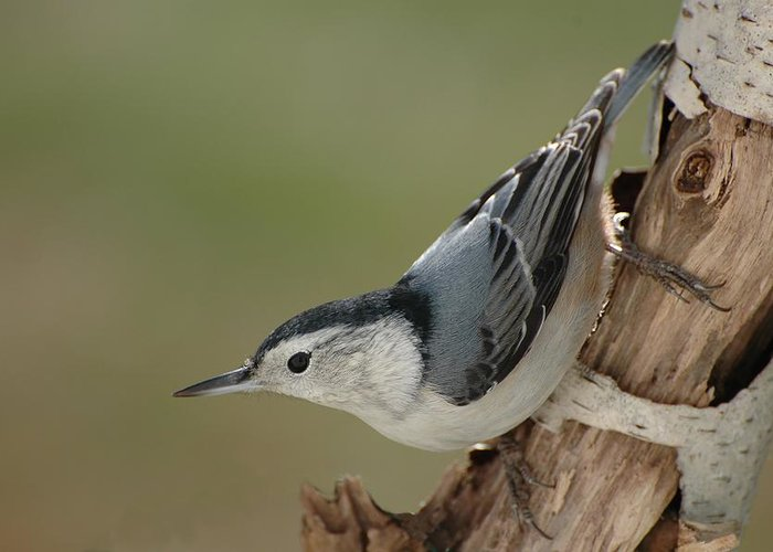 Bird Greeting Card featuring the photograph White-breasted Nuthatch by Raju Alagawadi