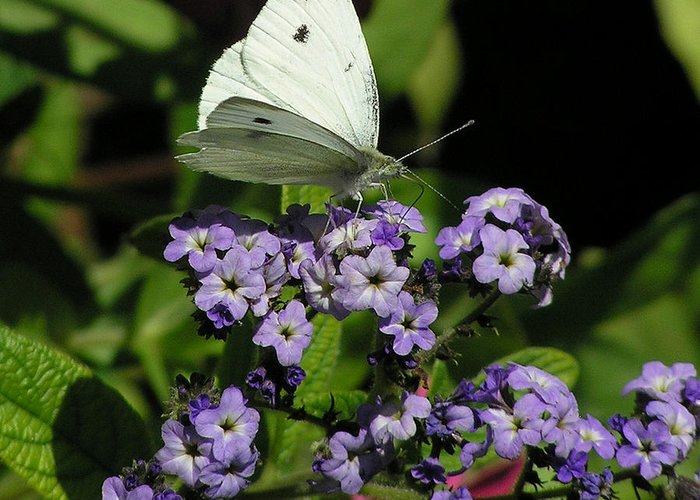 White Greeting Card featuring the photograph White Butterfly by Louise Magno
