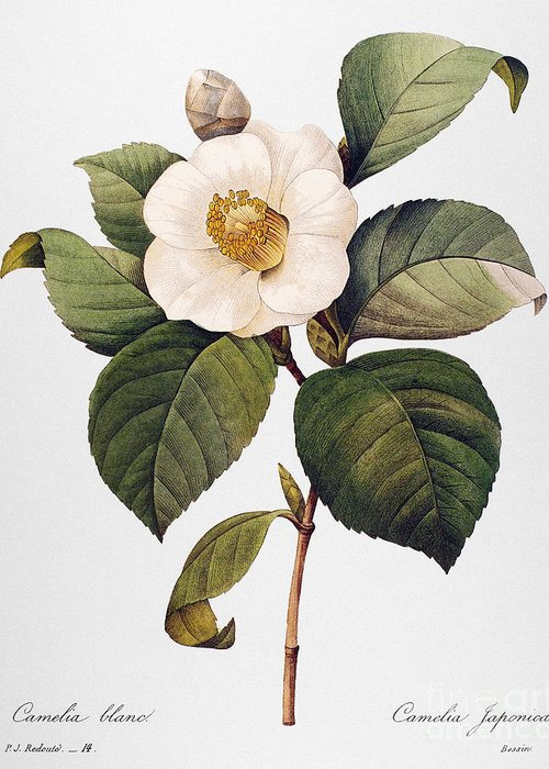 1833 Greeting Card featuring the photograph White Camellia by Granger