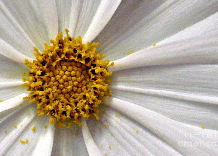 Flower Greeting Card featuring the photograph White Cosmos by Jacqueline Milner