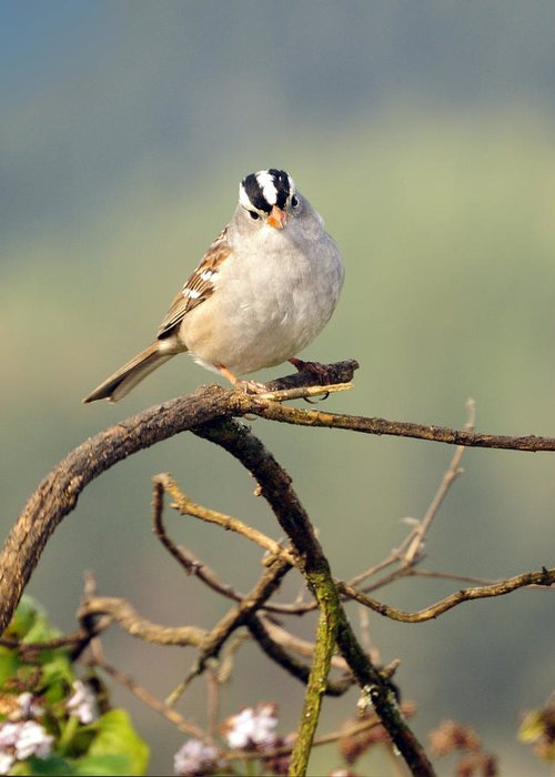 White Crowned Greeting Card featuring the photograph White Crowned Sparrow by Laura Mountainspring