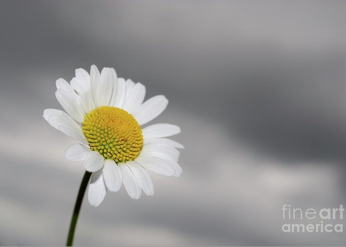 Focus Greeting Card featuring the photograph White Daisy by Sami Sarkis
