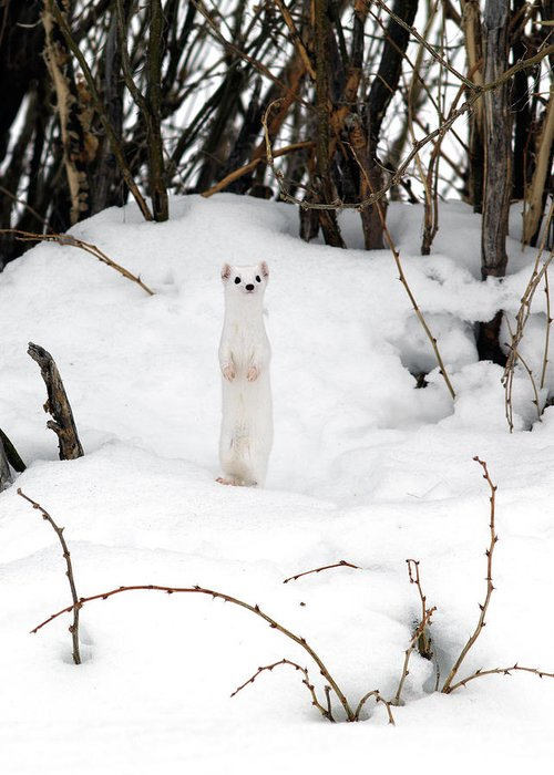 White Weasel Greeting Card featuring the photograph White Ermine by Leland D Howard
