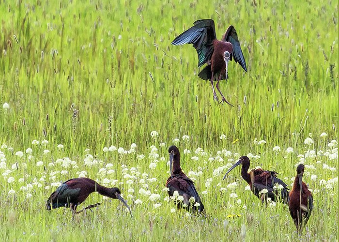 White-faced Ibis Greeting Card featuring the photograph White-faced Ibis Preparing To Land by Belinda Greb