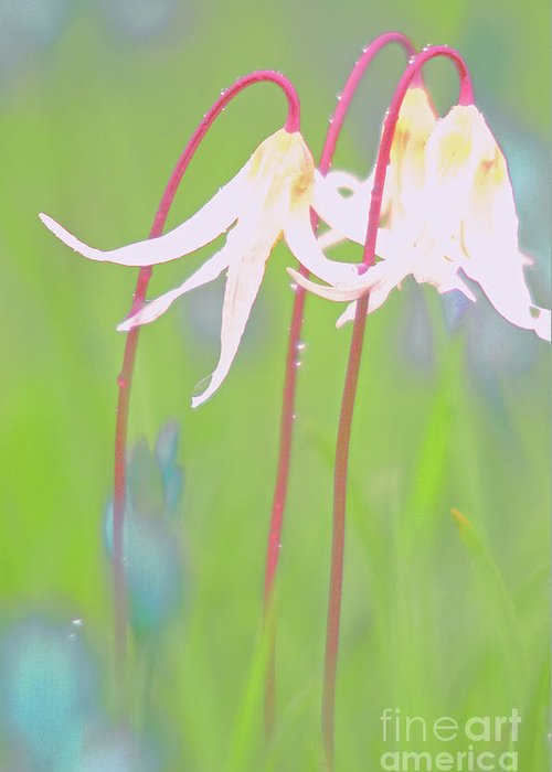 Flora Greeting Card featuring the photograph White Fawn Lilies In The Rain by Jill Greenaway