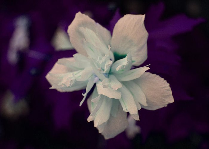 Nature Greeting Card featuring the photograph White Flower W/purple Background by Jimi Bush