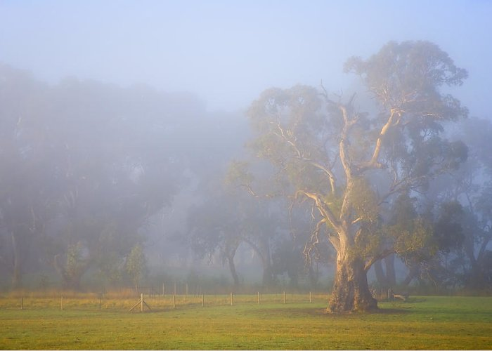 Tree Greeting Card featuring the photograph White Gum Morning by Mike Dawson